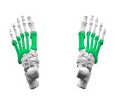 Metatarsal_bones01_-_superior_view